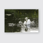 Young Swans Swimming Their Parents Poster, Pillow Case, Tumbler, Sticker, Ornament