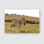 Zebra Walking Field Addo Elephant National Poster, Pillow Case, Tumbler, Sticker, Ornament
