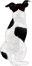 Jack russell 4