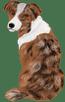 Australian shepherd7