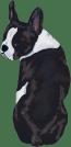 Boston terrier Black